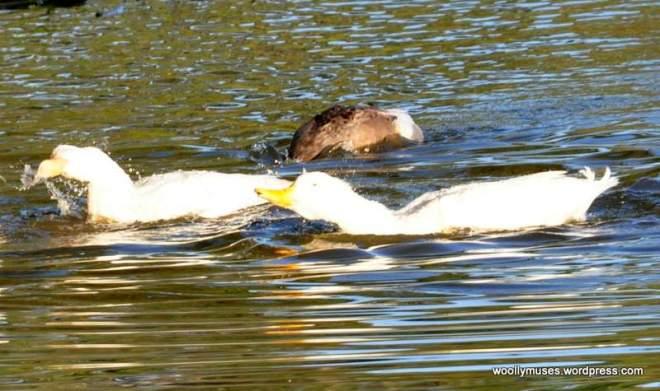 duck_0924