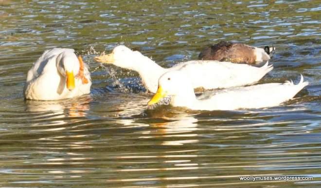 duck_0926
