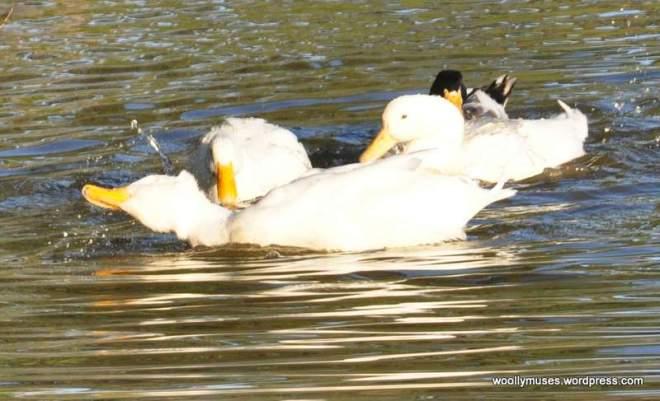 duck_0930