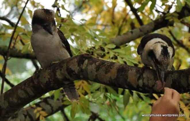 kookaburra_0353