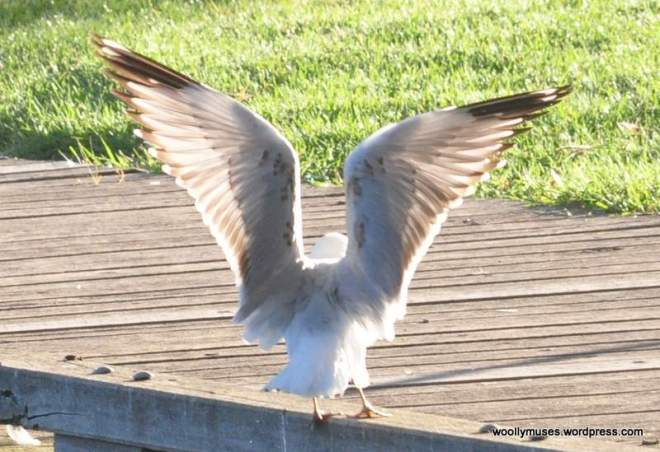sea-gull_0129