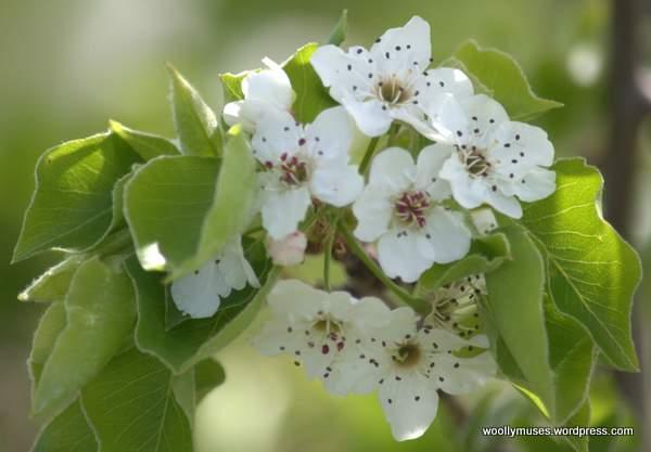 blossom_0045