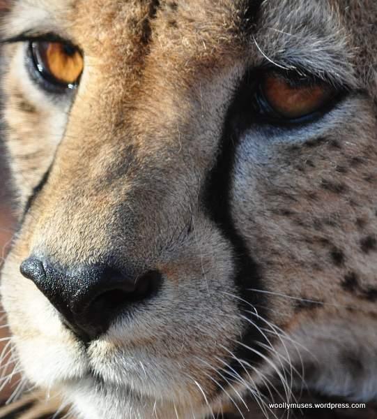 cheetah_0184