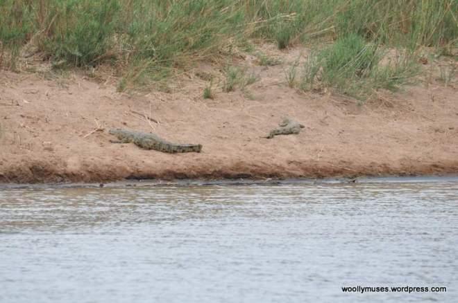 crocodile_0101