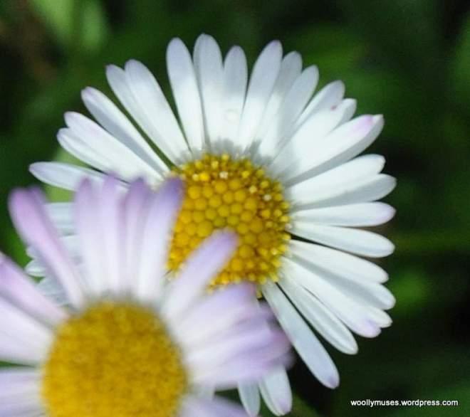 daisy_0082