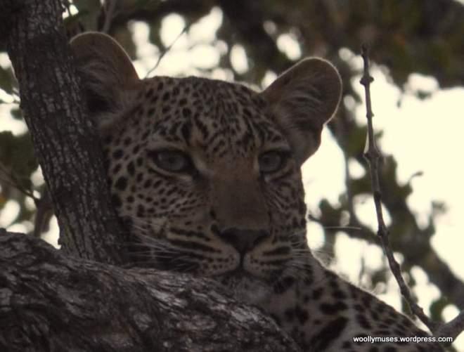 leopard_0742