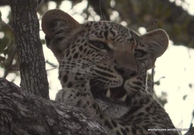 leopard_0764