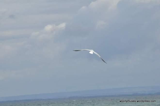 seagull_0031