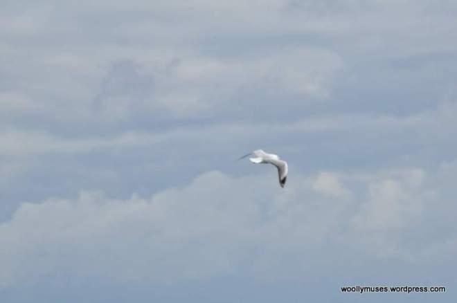 seagull_0032