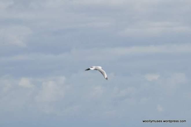 seagull_0033