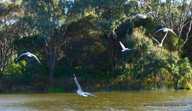1-seagull_0036
