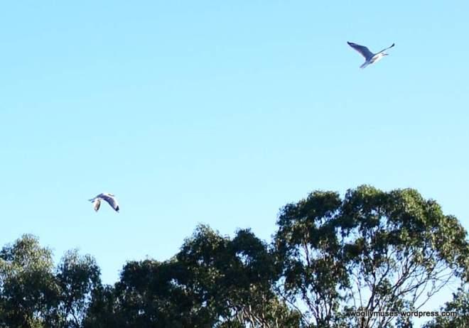 2-seagull_0036