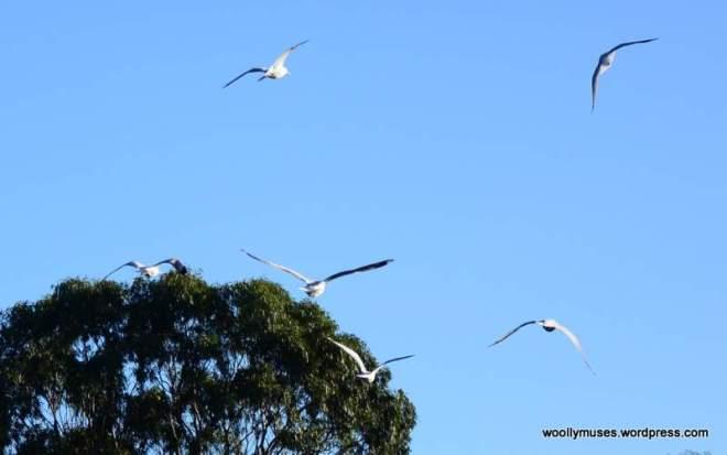 3-seagull_0037