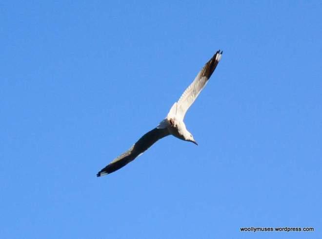 4-seagull_0050