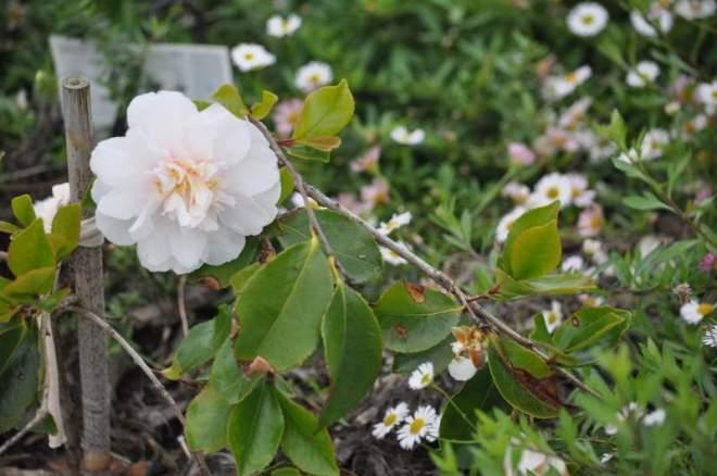 camellia_0006
