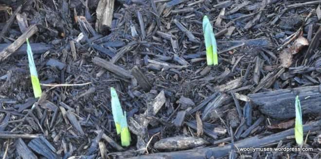 daffodils_0130