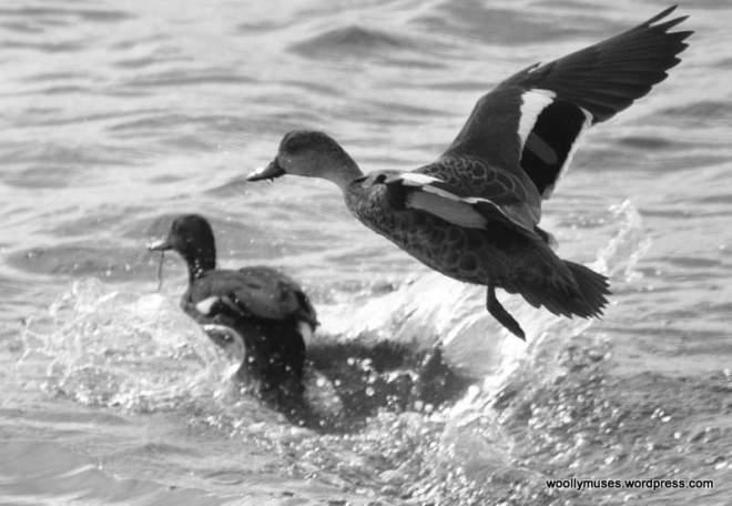 ducks_0132