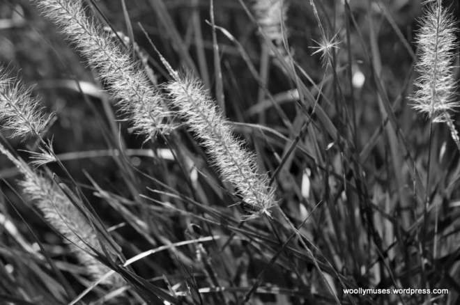 fountain-grass_0075