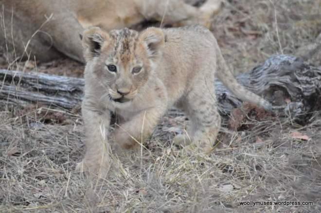 lion-cubs_0538