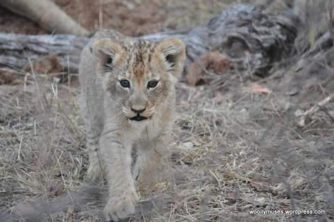 lion-cubs_0542