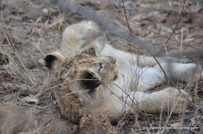 lion-cubs_0550