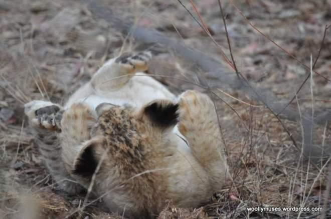 lion-cubs_0581