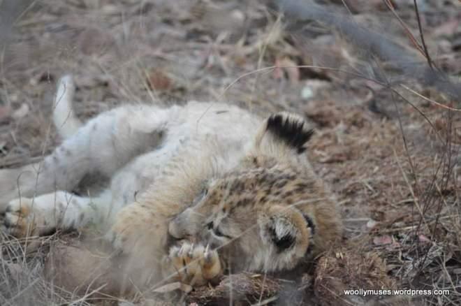 lion-cubs_0584
