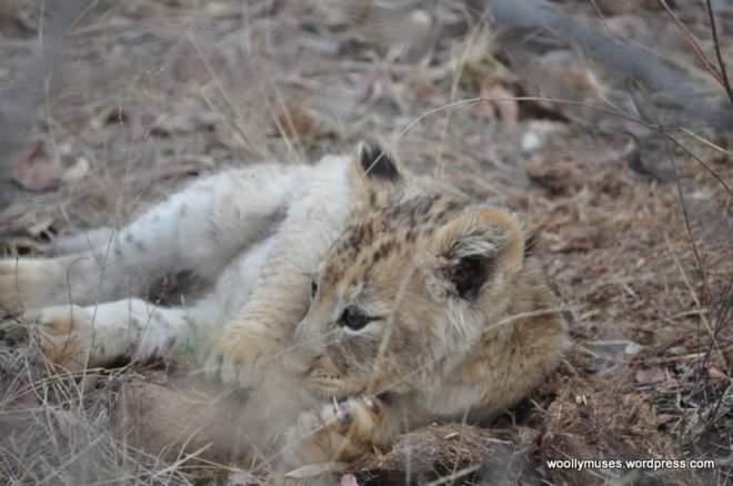 lion-cubs_0585