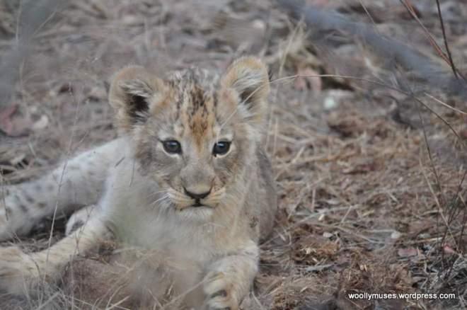 lion-cubs_0586