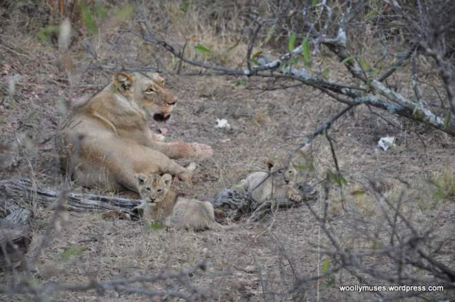 lion-cubss_0529