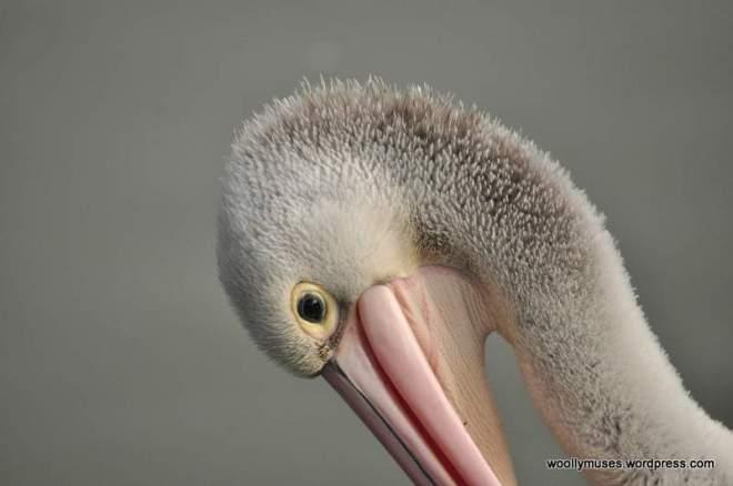 pelican_0115