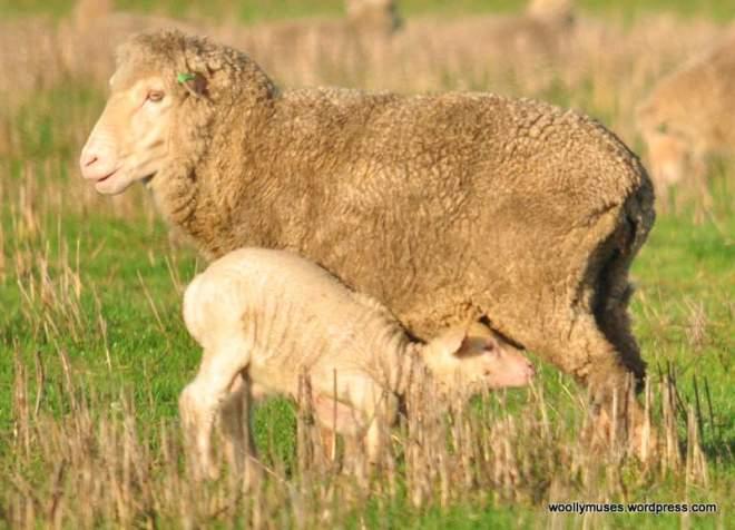 sheep_0038
