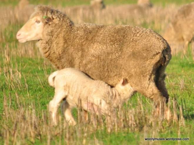 sheep_0040