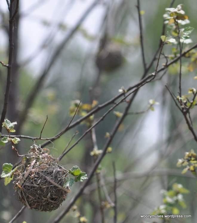weaver_nest_0443