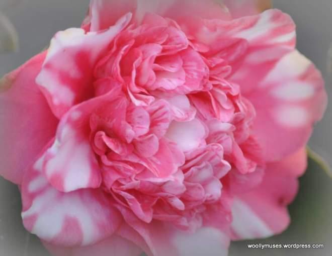 camellia_0010
