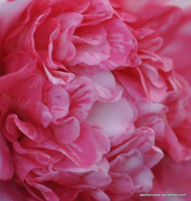 camellia_0012