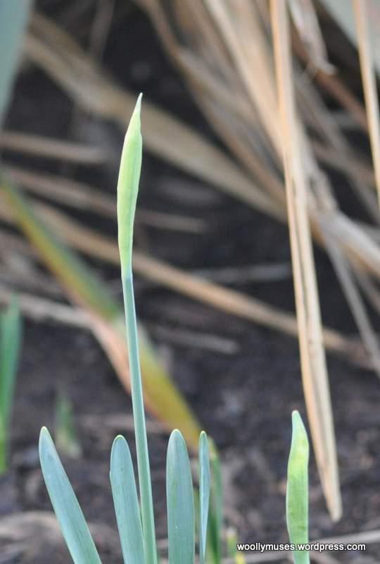 daffodils_0001