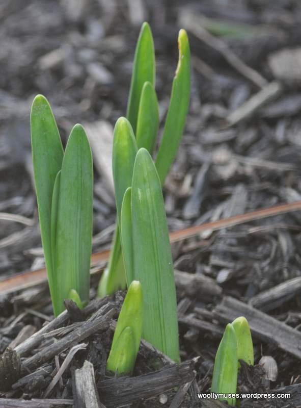 daffodils_0063