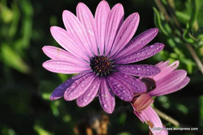 daisy_0176A