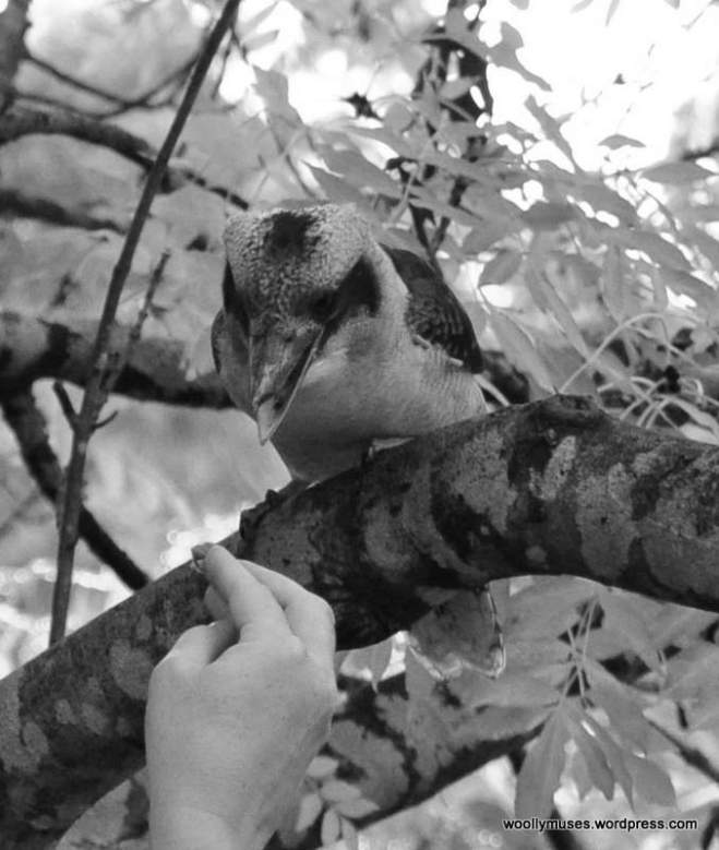 kookaburra_0322