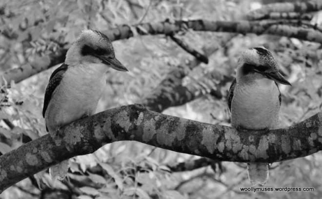 kookaburra_0393