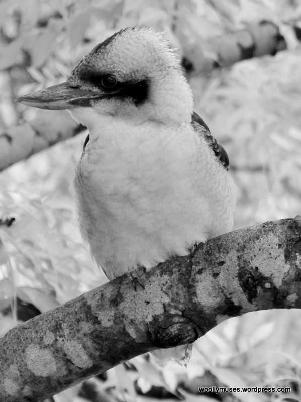 kookaburra_0394