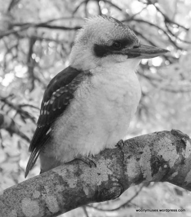 kookaburra_0410