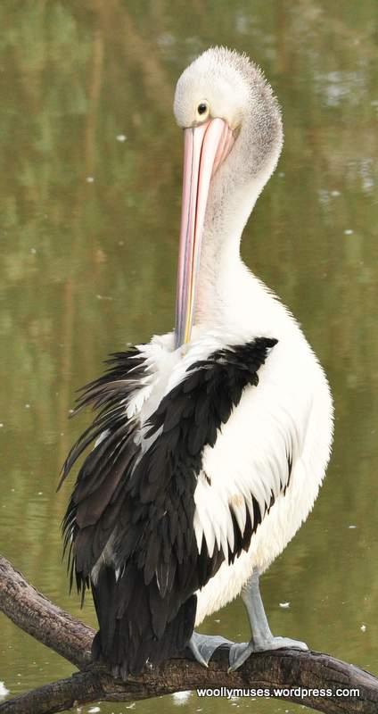 pelican_0072