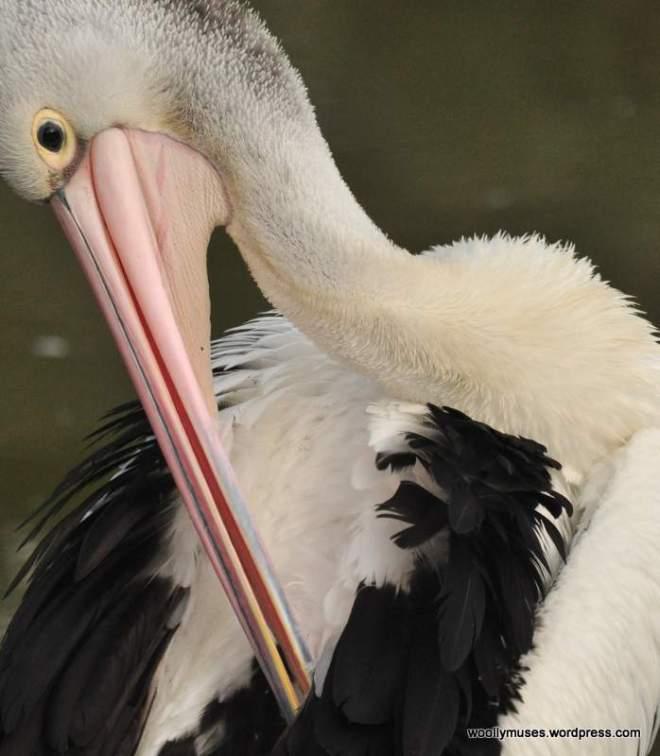 pelican_0092