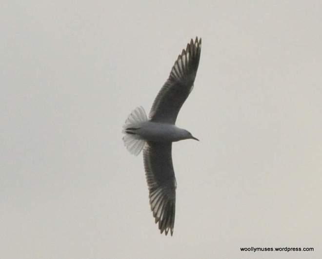 seagull_0057