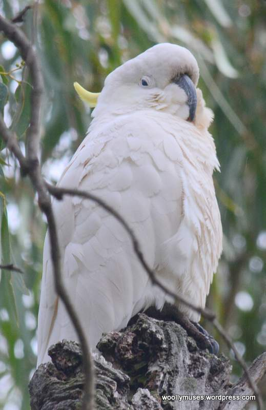 cockatoo_0513