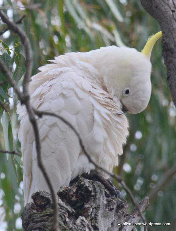 cockatoo_0514