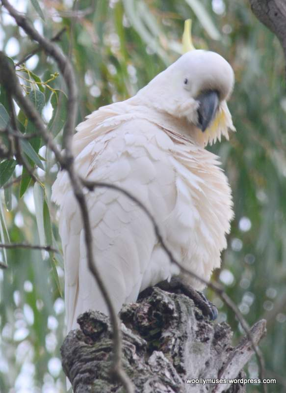 cockatoo_0515