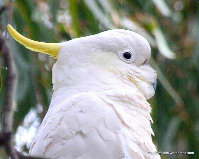 cockatoo_0516